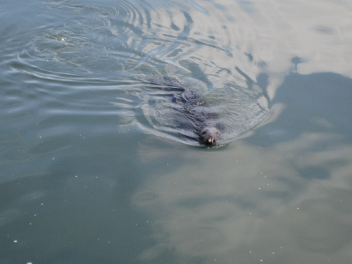 Howth, harbour seal, Ireland - Dublin Airport car hire