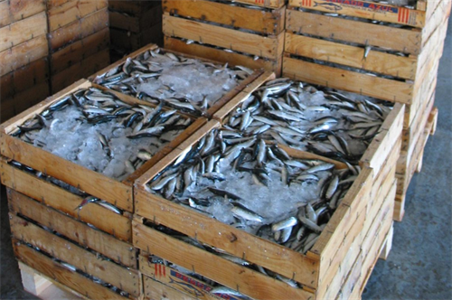 These fish were being crated in ice before going to Madrid.